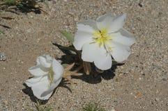 Sego-Lilie im Wüsten-Kies lizenzfreie stockbilder