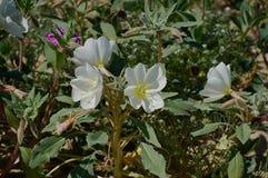 Sego Lily in the Anza-Borrego Desert. Sego lily in springtime bloom in the Anza-Borrego Desert of California royalty free stock photos