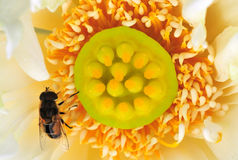 Segredo da abelha e do botão Imagens de Stock Royalty Free