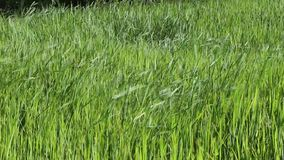 segregujący ryż zbiory