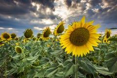Segreguję słońce kwitnie w lecie Obraz Royalty Free