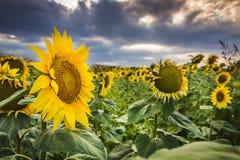 Segreguję słońce kwitnie w lecie Zdjęcia Stock