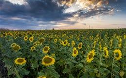 Segreguję słońce kwitnie w lecie Obrazy Stock