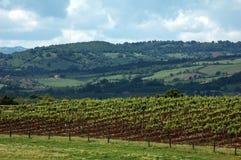 segregujący winogrona Obrazy Royalty Free