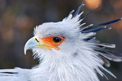 Segretaria uccello africana Fotografie Stock Libere da Diritti