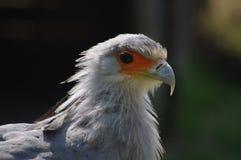 Segretaria uccello africana L'uccisore del serpente fotografie stock libere da diritti