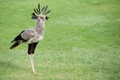 Segretario Bird Immagini Stock
