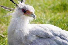 Segretario Bird Fotografia Stock