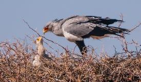 Segretario Bird Fotografie Stock Libere da Diritti