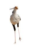 Segretario Bird in Namibia Fotografia Stock