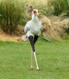 Segretario femminile Bird fotografia stock