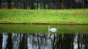 Lago swan imagen de archivo libre de regalías