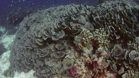 Seguendo colpo sopra una barriera corallina intatta con i coralli del Acropora e molto pesce tropicale, movimento lento archivi video