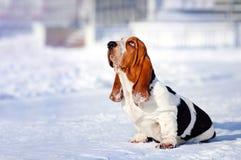 Segugio di bassotto triste del cane in inverno immagini stock libere da diritti
