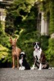 Segugio di faraone, crestato cinese, soggiorno del cane del pugile tre sulle scale in natura su sole fotografia stock