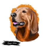Segugio Italiano Italian breed of dog digital art. Isolated watercolor pet portrait of purebred domesticated animal. Originated from Italy. Canine with long vector illustration