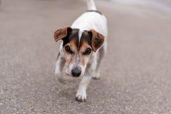 segugio Liscio-dai capelli di Jack Russell Terrier che islooking in avanti fotografia stock libera da diritti