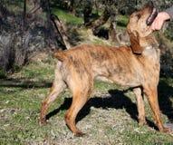 Segugio Maremmano Dog Stock Images