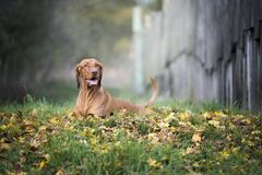Segugio ungherese in autunno fotografia stock