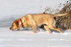 Seguimiento amarillo del perro perdiguero de Labrador imagenes de archivo