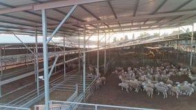 Seguimiento del tiro del abejón de una granja grande de las ovejas con centenares de ovejas almacen de metraje de vídeo