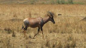 Seguimiento del tiro cercano de un antílope del topi que camina en reserva del juego de Mara del masai almacen de video