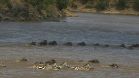 Seguimiento del tiro de líneas de cebra y de ñu que cruzan el río de Mara en reserva del juego de Mara del masai almacen de metraje de vídeo