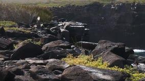 Seguimiento del tiro de un albatros agitado que toma vuelo en el espanola del isla en las islas de las Islas Galápagos almacen de video