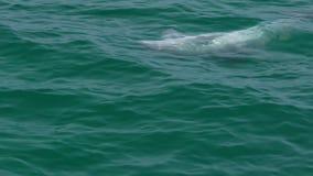 Seguimiento del tiro de un delfín que juega en el agua metrajes