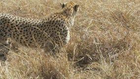 Seguimiento del tiro de un guepardo adulto que camina a la derecha en Masai Mara metrajes