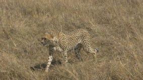 Seguimiento del tiro de un guepardo que camina a la izquierda en masai Mara metrajes