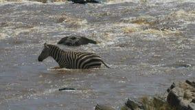 Seguimiento del tiro de una cebra que entra en el río de Mara en reserva del juego de Mara del masai almacen de video