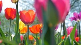 Seguindo o tiro ao longo das tulipas coloridas vídeos de arquivo