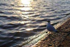 Segull смотря пруд Стоковое Изображение RF