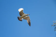 Segull on blue sky Royalty Free Stock Image