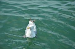 Segull na wodzie zdjęcie stock