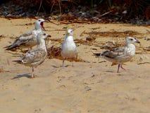 Segulls на песчаном пляже в Балтийском море естественной предпосылки стоковая фотография
