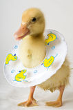 Segurança Duckie Fotos de Stock Royalty Free