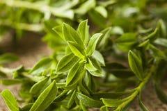 Segurelha verde orgânica crua Fotos de Stock