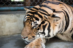 Sehen des Tigers im Königreich Lizenzfreies Stockbild
