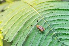 Sehen Sie Darstellungsseite des Hausbock-Käfers auf einem grünen Blatt an Lizenzfreies Stockfoto