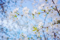 Sehen Sie die Niederlassung des blühenden Kirschbaums an an Lizenzfreie Stockfotos