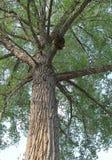 Sehen Sie einen alten Baum oben schauen an, der eine Abschürfung hat lizenzfreie stockfotografie