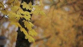 Sehen Sie gelbes Ahornblatt auf Niederlassung des Baums im Herbstpark an Ruhig, wellenartig bewegend auf Wind stock video