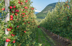 Sehen Sie hinunter die idyllischen Fruchtobstgärten von Trentino Alto Adige, Italien an Trentino Süd-Tirol Stockfoto