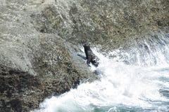 Sehen Sie Löwen in der Valdes-Halbinsel Lizenzfreie Stockbilder