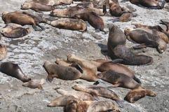 Sehen Sie Löwen in der Valdes-Halbinsel Stockbild