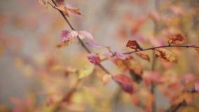 Sehen Sie rotes, orange Blatt auf Niederlassung des Baums im Herbstpark an Ruhig, wellenartig bewegend auf Wind stock video footage