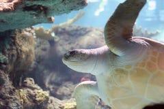 Sehen Sie Schildkröte Stockfoto