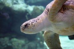 Sehen Sie Schildkröte stockfotografie